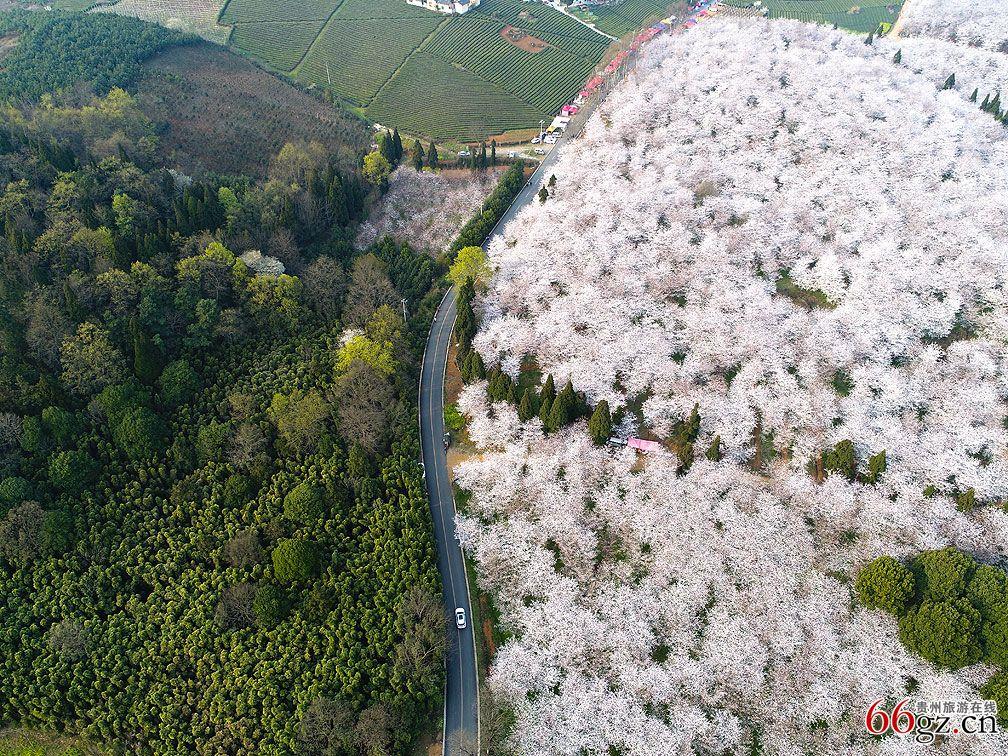 航拍平坝万亩樱花-贵州旅游在线