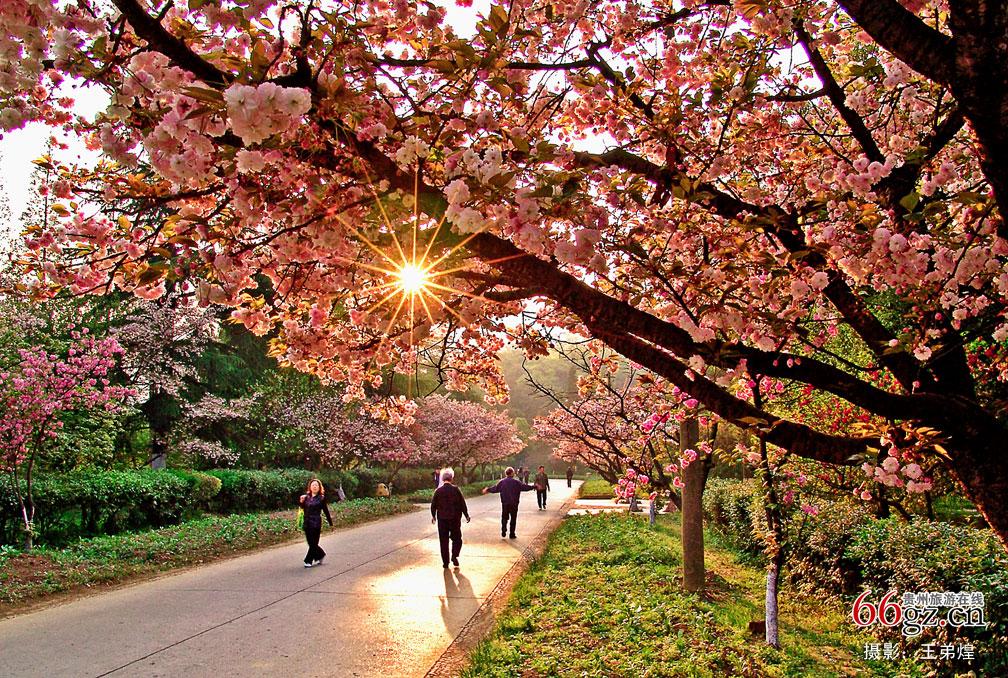 花溪公园樱花盛开-贵州旅游在线
