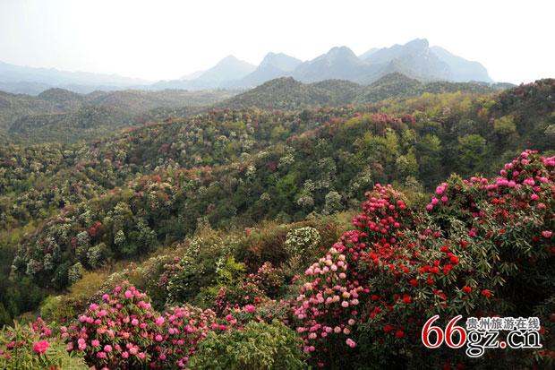 百里杜鹃风景区位于贵州省毕节市大方