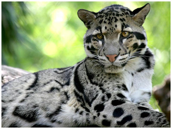 因此称作云豹,是大型猫科动物中体形最小的一种