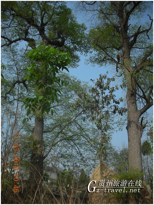 金丝榔树又名槟榔树